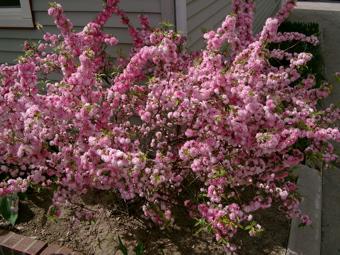 Pink flowering almond shrub gallery of gallon toyonishiki flowering great flowering almond with pink flowering almond shrub mightylinksfo